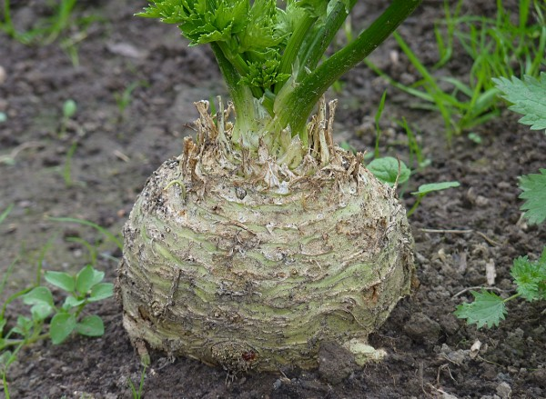 Sure celeriac's ugly…but it's also delicious