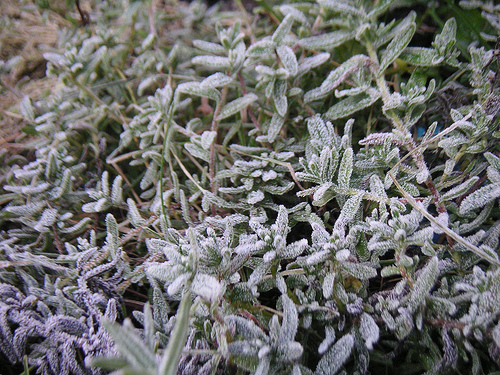 Frost looms in the garden, but that's not always a bad thing