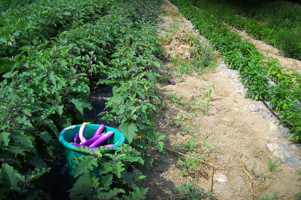 Harvesting Eggplant