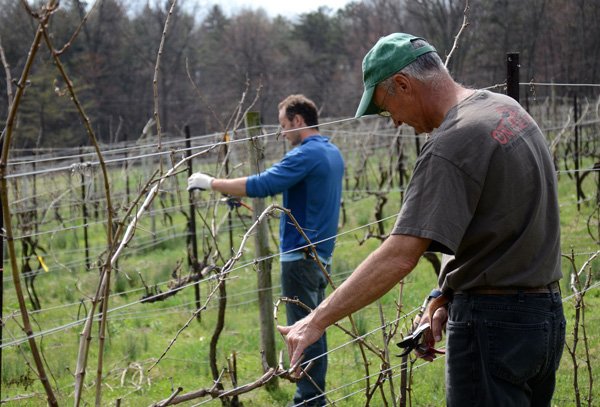 Early Spring Pruning at Mount Nittany Vineyard
