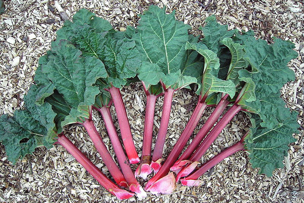 Some of what you need to know about rhubarb but didn't think to ask